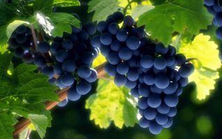 Готовим виноградную брагу в домашних условиях