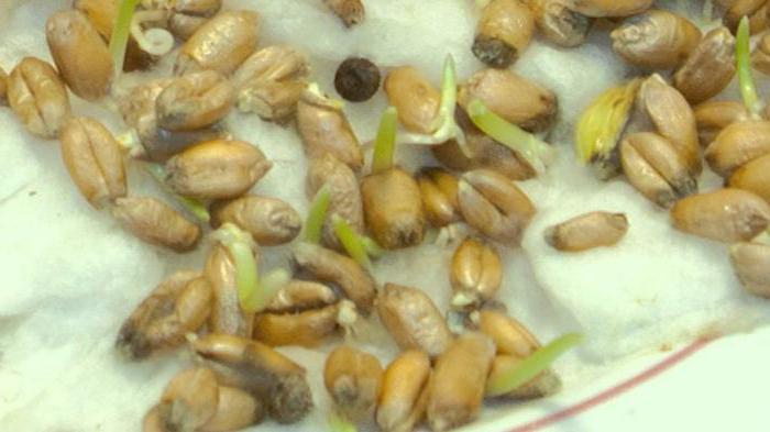 брага из пророщенной пшеницы